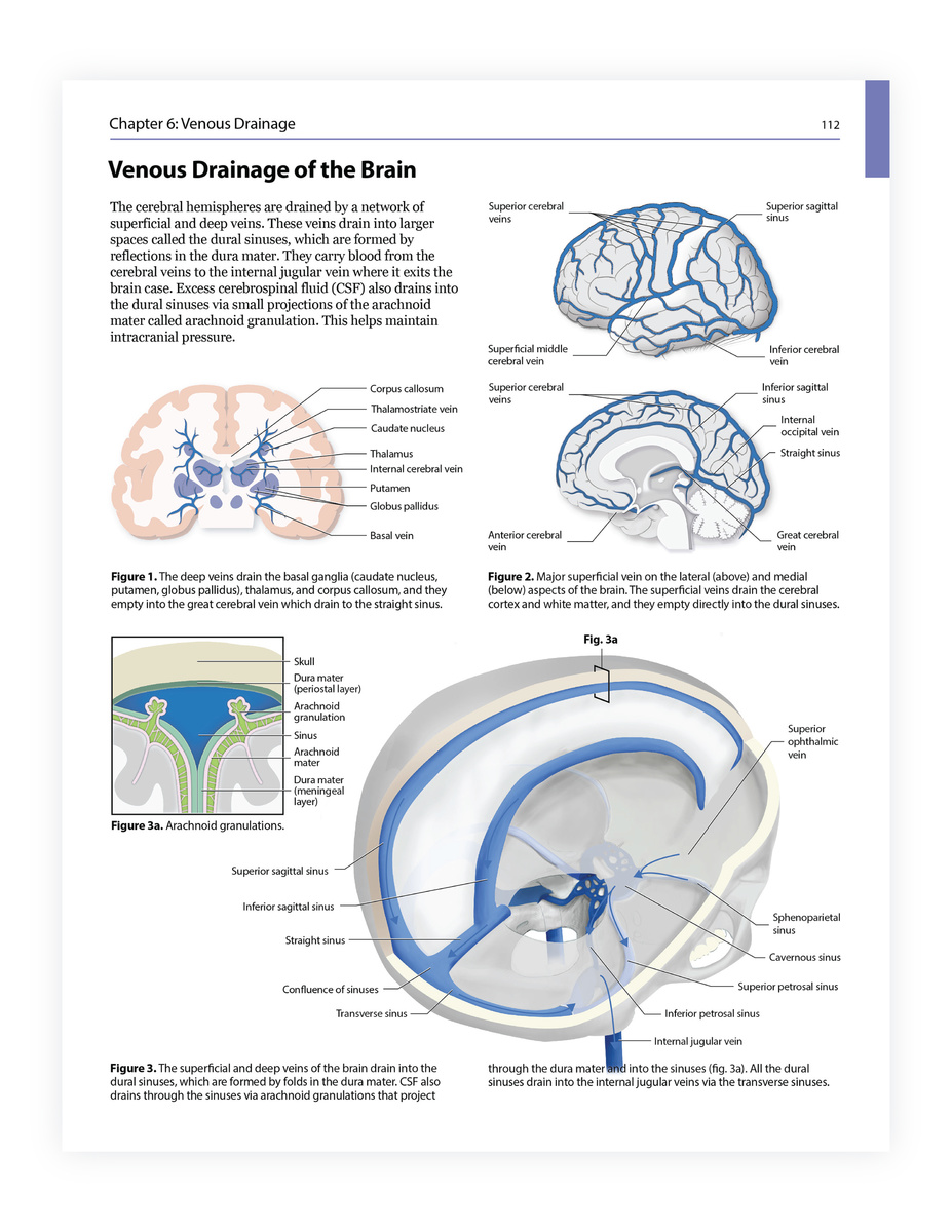 Neuroanatomy Illustration